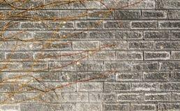 有一个干藤的分支的老灰色砖墙有镇压特写镜头背景 库存照片