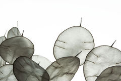 有一个技巧的异常的叶子在背后照明 在白色背景隔绝的叶子纹理  Eco样式,自然材料 免版税库存图片