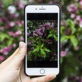 有一个美丽的玫瑰丛的照片的智能手机在手中在植物的背景 库存照片