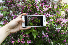 有一个美丽的玫瑰丛的照片的智能手机在手中在植物的背景 库存图片