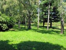 有一个草甸的桦树树丛前景的 免版税图库摄影
