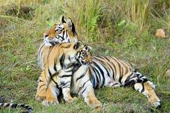 有一只小猫的母老虎在草 免版税库存图片