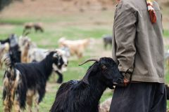 有一只山羊的游牧人在札格罗斯山 免版税库存照片