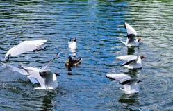 有一只鸭子和一只海鸥的一个池塘在公园 库存图片