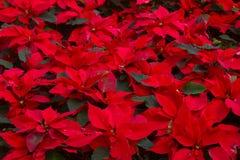 有一品红花或圣诞节星的庭院 免版税库存照片