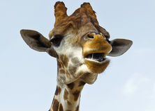 有一张开放嘴的长颈鹿的头 免版税库存图片