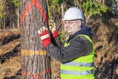 有一把卷尺的伐木工人在云杉附近在森林里 免版税库存照片