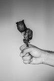 有一朵红色玫瑰的一只手 库存照片