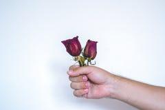 有一朵红色玫瑰的一只手 免版税库存图片