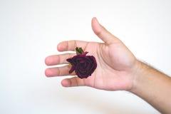 有一朵红色玫瑰的一只手 免版税库存照片