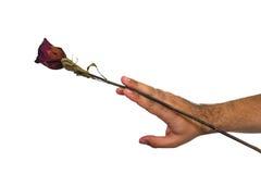 有一朵红色玫瑰的一只手 免版税图库摄影