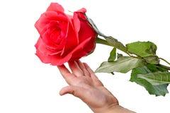 有一朵红色玫瑰的婴孩 免版税库存照片