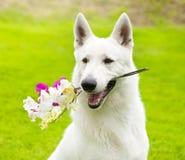 有一朵花的纯血统白瑞士牧羊人在它的嘴 库存照片