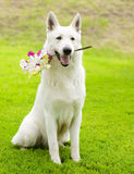 有一朵花的纯血统白瑞士牧羊人在它的嘴 免版税库存图片