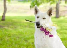 有一朵花的纯血统白瑞士牧羊人在它的嘴 库存图片