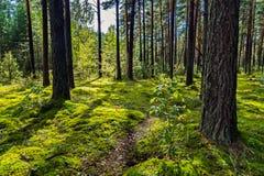有一条小道路的一块美丽如画的森林沼地在杉木森林的背景 图库摄影