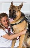 有一条德国牧羊犬狗的兽医 免版税库存照片
