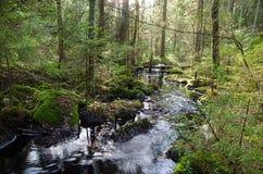 有一条放出的小河的老成长森林 库存照片