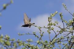 有一条毛虫的椋鸟科在它的额嘴飞行 库存图片