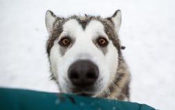 有一条狗的女孩在冬天,多壳 免版税库存图片