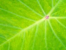有一条空白线路的特写镜头绿色莲花叶子 库存图片