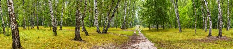 有一条路的桦树树丛在晴朗的夏日 免版税库存图片