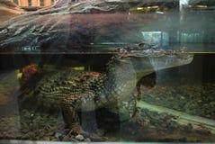 有一条鳄鱼,身体在水中和一个头的一个水族馆有在水上的可怕的可怕的牙的 库存图片
