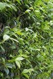 有一棵上升的植物的绿色叶子的墙壁 意大利,欧洲 图库摄影