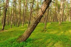 有一棵倾斜的树的杉木森林在前景 免版税库存照片