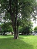 有一棵大树的绿色空的公园在中部 图库摄影
