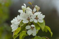 有一棵樱桃日本树春天,索非亚的绽放和叶子的枝杈 免版税库存照片