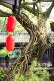 有一棵老树和一个寺庙的中国灯笼在背景中 免版税图库摄影