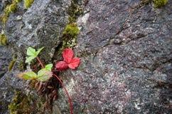 有一片红色叶子的野草莓植物从裂缝增长 免版税库存图片