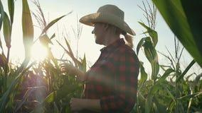 有一种片剂的一位女性农夫在她的手上在玉米田 农夫审查玉米并且记录结果 股票录像