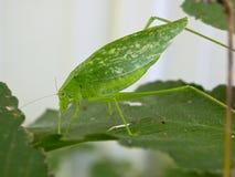 有一绿色katydid的绿色叶子 库存图片