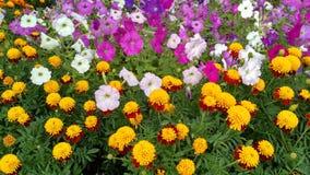 有万寿菊和喇叭花花的花圃 图库摄影