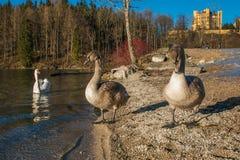 有三只天鹅的Alpsee湖与Hohenschwangau城堡在背景中 库存图片