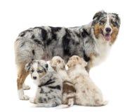 有三只小狗的母亲澳大利亚牧羊人 免版税库存图片