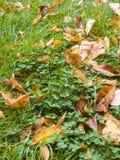 有三叶草和露水的秋天草坪 免版税图库摄影