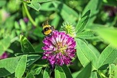 有三叶草花和粗野的土蜂的草甸 图库摄影