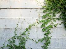 有上升的树的白色混凝土墙背景的 免版税库存照片