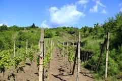 有上面蓝天和白色云彩的葡萄园 免版税库存照片