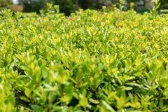 有下落的年轻绿色叶子在雨以后 库存照片