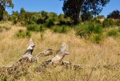 有下落的树的澳大利亚人布什 免版税图库摄影