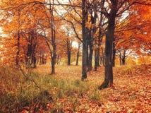 有下落的秋天橡木叶子的秋天森林 秋天在秋天多云天上色了风景-橡木森林自然 库存照片