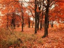 有下落的秋天橡木叶子的秋天森林 秋天在秋天多云天上色了风景-橡木森林自然 免版税库存图片