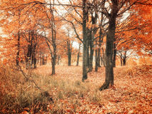 有下落的秋天橡木叶子的秋天森林 秋天在秋天多云天上色了风景-橡木森林 库存图片