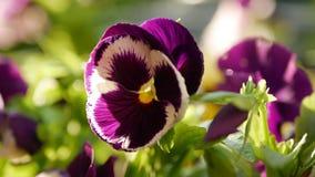 有不同颜色蝴蝶花的花圃  中提琴wittrockiana花在庭院移动风 特写镜头 4K 股票视频
