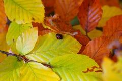 有丑角瓢虫的秋天叶子 免版税图库摄影