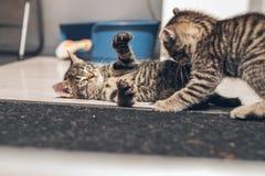 有两只小的灰色的小猫打斗 免版税图库摄影